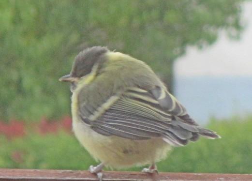 Vögel, Gerstenfeld 005hrellerMOP
