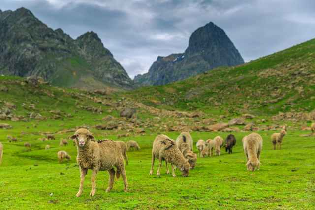 herd of brown sheep on green grass